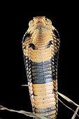 Portrait de Cobra des forêts (Naja melanoleuca) agressif sur fond noir