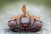 European yellow tailed scorpion (Euscorpius flavicaudis), Villarotta, Reggio Emilia, Italy