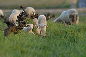 Natural weeding by sheep grazing in a vineyard and natural fertilizer by animal dung, Hérault, France