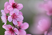 Peach blossom (Prunus persica) flowers, Herault, France