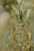 Common wasp (Vespula vulgaris) eating a caterpillar of Box Tree Moth (Cydalima perspectalis), Hérault, France