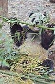 Giant Panda (Ailuropoda melanoleuca) Eating Bamboo, Chengdu Giant Panda Research Center, Sichuan, China