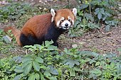 Red panda (Ailurus fulgens) on ground, Chengdu Research and Reproduction Center, Sichuan Province, China