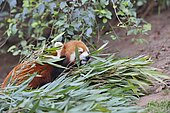 Red panda (Ailurus fulgens) eating bamboo, Chengdu Research and Reproduction Center, Sichuan Province, China