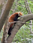 Red panda (Ailurus fulgens) on a branch, Chengdu Research and Reproduction Center, Sichuan Province, China
