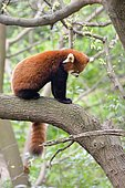 Red panda (Ailurus fulgens) sitting on a branch, Chengdu Research and Reproduction Center, Sichuan Province, China