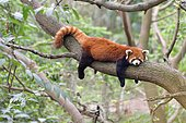 Red panda (Ailurus fulgens) sleeping on a branch, Chengdu Research and Reproduction Center, Sichuan Province, China