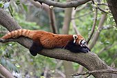 Red panda (Ailurus fulgens) yawning on a branch, Chengdu Research and Reproduction Center, Sichuan Province, China