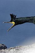 Cormoran huppé (Phalacrocorax aristotelis) sur l'ile d'Hornoya, Varanger, Norvège