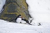 Atlantic puffins (Fratercula arctica) on Hornoya Island, Varanger, Norway