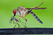 Robberfly (Asilidae) eating asian tiger mosquito (Aedes albopictus).