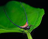 Long spine orb weaver spider (Macracantha arcuata) on a grean leaf.