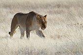 Lioness (Panthera leo) walking in dry grass, Etosha National Park, Namibia, Africa