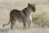Lioness (Panthera leo) standing in dry grass, alert, watching out, Etosha National Park, Namibia, Africa