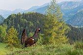 Western capercaillie (Tetrao urogallus) courting, Kalkalpen National Park, Upper Austria, Austria, Europe