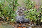 Hedgehog (Erinaceidae) drinks, Upper Austria, Austria, Europe