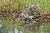 Hedgehog (Erinaceidae) sits on the waterfront, Upper Austria, Austria, Europe