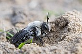 Ashy Mining Bee (Andrena cineraria) comes from Erdhöhle, Emsland, Lower Saxony, Germany