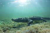 American crocodile (Crocodylus acutus), Underwater, Banco Chinchorro, Quintana Roo, Mexico