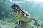 American crocodile (Crocodylus acutus), Underwater, Banco Chinchorro, Quintana Roo, Mexico, Central America
