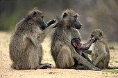 Groupe de Babouins chacmas (Papio hamadryas ursinus), deux femelles adultes et deux jeunes, s'épouillant, Parc national Kruger, Afrique du Sud