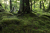 Wolf (Canis lupus) howling next to western redcedar in forest, Great Bear Rainforest, British Columbia, Canada