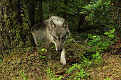 Wolf (Canis lupus) in forest, Great Bear Rainforest, British Columbia, Canada
