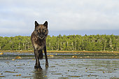 Wolf (Canis lupus) on mudflats, Great Bear Rainforest, British Columbia, Canada