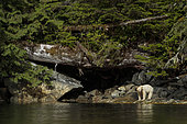 Kermode bear (Ursus americanus kermodei) on bank, Great bear rainforest, British Columbia, Canada