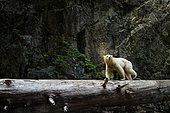 Kermode bear (Ursus americanus kermodei) crossing log, Great bear rainforest, British Columbia, Canada