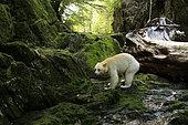 Kermode bear (Ursus americanus kermodei) on bank in forest, Great bear rainforest, British Columbia, Canada