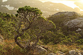 Shore pine (Pinus contorta contorta), Campania Island, Great bear rainforest, British Columbia, Canada