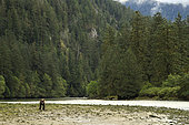 Grizzly bear (Ursus arctos horribilis) on gravel bar, Great Bear Rainforest, British Columbia, Canada