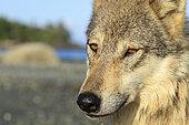 Portrait de Loup commun (Canis lupus) sur le rivage, Forêt pluviale de Great Bear, Colombie-Britannique, Canada