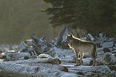 Loup commun (Canis lupus) sur des troncs échoués sur le rivage, Forêt pluviale de Great Bear, Colombie-Britannique, Canada
