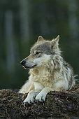 Loup commun (Canis lupus) au repos sur le rivage, Forêt pluviale de Great Bear, Colombie-Britannique, Canada
