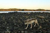 Loup commun (Canis lupus) sur le rivage, Forêt pluviale de Great Bear, Colombie-Britannique, Canada