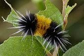 Caterpillar Spotted tussock moth (Lophocampa maculata) feeding on salal (Gaultheria shallon), Great Bear Rainforest, British Columbia, Canada