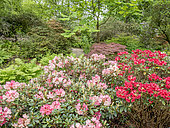 Rhododendron 'Titian Beauty' and 'Horizon Monarch' in bloom in a garden