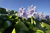 Jacinthe d'eau (Eichhornia crassipes) sur un lac. C'est une plante aquatique originaire du bassin amazonien et une espèce envahissante extrêmement problématique en dehors de son aire d'origine. Si elle n'est pas contrôlée, la jacinthe d'eau couvrira entièrement les lacs et les étangs, cela affecte considérablement le débit d'eau, empêche la lumière du soleil d'atteindre les plantes aquatiques indigènes, qui meurent souvent. Tejo (Tage), Portugal