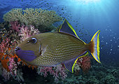 Gilded triggerfish or Blue-throated Triggerfish, Xanthichthys auromarginatus. Mature male swimming on coral reef. Form loose aggregations a few meters above the bottom where it feeds on zooplankton, particularly copepods. Indonesia