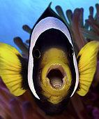 Poisson-clown noir à queue jaune (Amphiprion clarkii) avec un Crustacé parasite (Cymothoa exiguua) dans sa bouche, Indonésie. Munis de sept paires de pattes crochues, le crustacé ponctionne le sang de son hôte tout en se fixant fermement sur sa langue. Celle-ci finit par dégénérer jusqu'à ce que le parasite prenne totalement sa place et en assure mécaniquement les fonctions. Le poisson pourra donc continuer à s'alimenter et assurer la subsistance de son «alien» buccal.