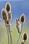 European Goldfinch (Carduelis carduelis) feeding on teasel seeds, France