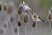 European Goldfinches (Carduelis carduelis) feeding on teasel seeds, France