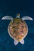 Green sea turtle (Chelonia mydas). Tenerife, Canary Islands.