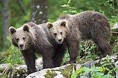 European brown bear (Ursus arctos arctos), two young siblings, Notranjska Region, Slovenia, Europe