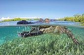 American crocodile (Crocodylus acutus), Underwater, Split-Level image, Jardines de la Reina, Cuba