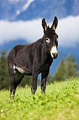 Donkey, half-breed, standing on a meadow, North Tyrol, Austria, Europe