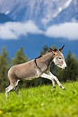 Donkey, half-breed, yearling galloping across a meadow, North Tyrol, Austria, Europe