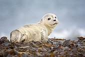 Harbor seal (Phoca vitulina) Young animal, Schleswig-Holstein, Helgoland, Germany, Europe
